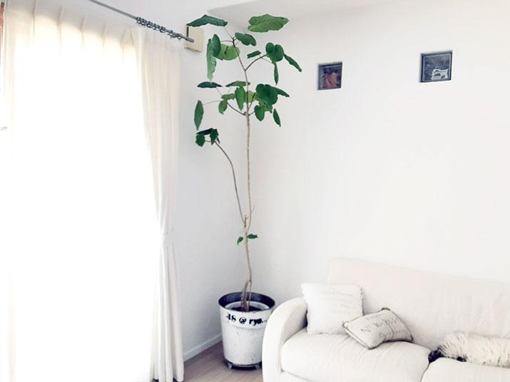 永久の幸せが手に入る?幸運を呼ぶ観葉植物「ウンベラータ」